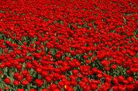 Blühendes Tulpenfeld in der Blumenzwiebelregion Bollenstreek, Noordwijkerhout, Niederlande