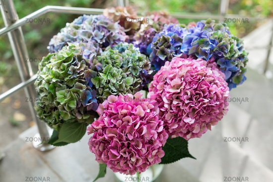 Close up of Beautiful Multi colored hydrangea flowers, natural background.