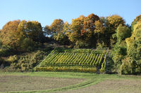 Vitis vinifera, Weinberg, vineyard, in Herbst, in autumn