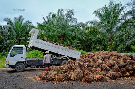 Oil palm plantation worker unloads a truck.