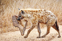 Tüpfelhyäne mit Beute, Kruger Nationalpark, Südafrica; hyena with a piece of a carcass, south africa, wildlife