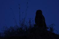 in dunkler Nacht... Europäischer Uhu *Bubo bubo*, Uhu-Silhouette im Dunkel der Nacht