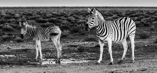 Zebras, Stute mit Fohlen