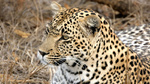 Portrait of a wild Leopard Sabi Sands