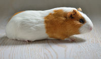 Small cute guinea pig isolated