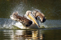 young common pelican splashing water on pond surface ( Pelecanus onocrotalus )