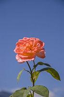 Rote Rose vor blauem Himmel