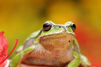 portrait of cute european tree frog ( Hyla arborea )