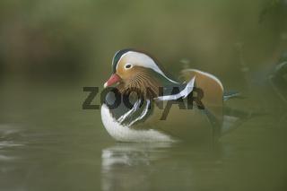 verborgen am Uferrand... Mandarinente *Aix galericulata* ruht in der Ufervegetation