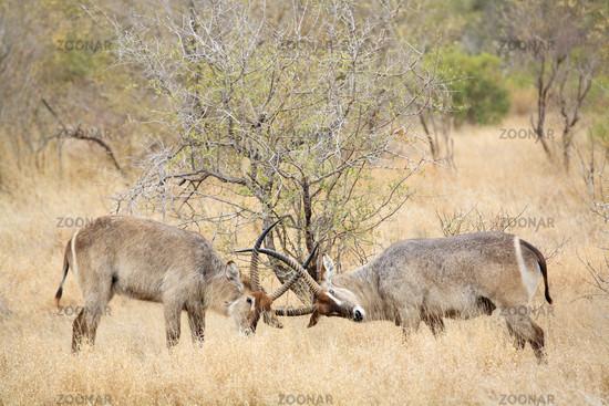 Wasserboecke beim kaempfen (Kobus ellipsiprymnus), Krueger National Park, Nationalpark, Suedafrika, Afrika, fighting Waterbucks, South Africa