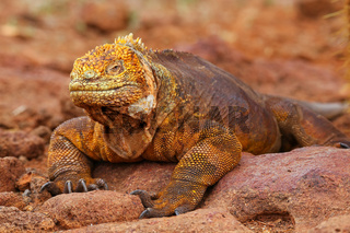 Galapagos Land Iguana on North Seymour island, Galapagos National Park, Ecuador