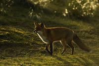 Licht und Schatten... Rotfuchs *Vulpes vulpes*