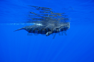 Pottwal Mutter, Physeter catodon, Physeter macrocephalus, sperm whale