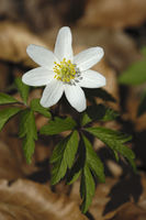 Buschwindroeschen (Anemone nemorosa)