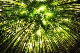 bamboo forest in gochang