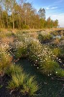 Wollgras im Goldenstedter Moor