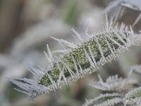 Nahaufnahme eines Salbeiblattes mit Eiskristallen