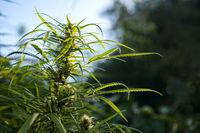 Marijuana is grown for medical purposes