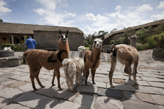 Lamas in der Hacienda San Augustin de Callo, Ecuador