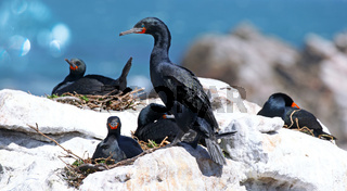 Kapkormorane, Kapscharben am Stony Point, Südafrika, Cape cormorants, South Africa