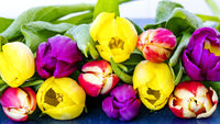 Fresh colorful tulips