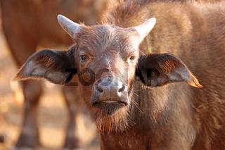 Junger Kaffernbüffel, Syncerus caffer, im Kruger Nationalpark, Südafrika, South Africa, African buffalo