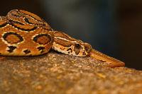 Russell's viper, Daboia russelii, Bangalore, Karnataka