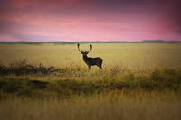 fallow deer stag on meadow at dawn