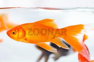 goldfish closeup in glass fish tank