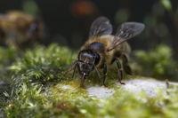 Honigbiene beim Wasserholen