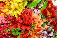 Alstroemeria flowers close-up