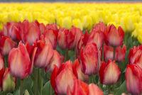 Blühende Tulpen in der Blumenzwiebelregion Bollenstreek, Niederlande