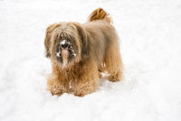 Long-haired tibetan terrier in the snow