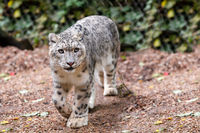 beautiful cat snow leopard, (Uncia uncia)