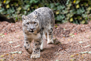 beautiful cat snow leopard, (Uncia uncia)