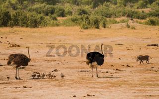 Afrikanischer Strauß in der Savanne vom in Simbabwe, Südafrika