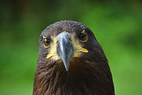 Close up front portrait of Golden eagle on green