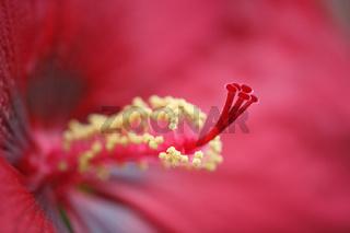 Hibiskus, Hibiscus syriacus, Rose of Sharon