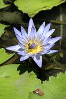 Water lily 004