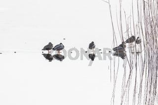 Eine Entenfamilie auf einem zugefrorenem See - mit Spiegelbild.
