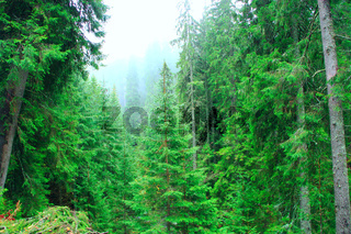 wild green forest with fir-trees