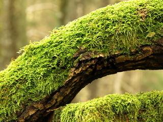 Eichenstamm mit Moos / Quercus robur