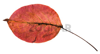 back side of red autumn leaf of pear tree