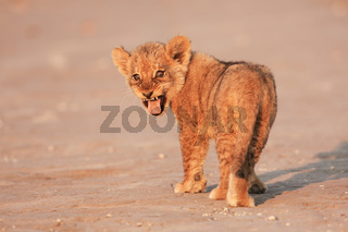 lion cub single - Loewenjunges