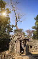 Jungle tree covering the stones of the temple ruins in Angkor Wat (Siem Reap