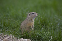 Ziesel, Spermophilus, European ground squirrel