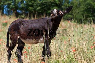 Esel auf einer Wiese in Italien