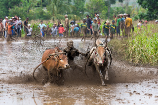 Pacu Jawi (Cow Racing) in West Sumarta, Indonesia.