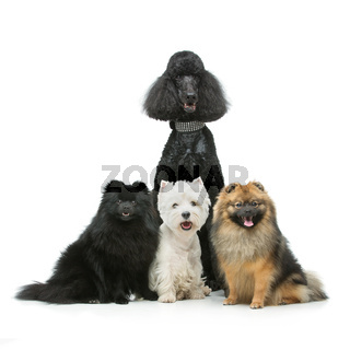 beautiful spitz dogs and poodle on grey background