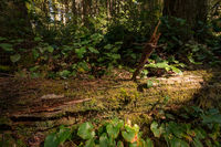 Fallen Redwood Tree in Northern California Forest